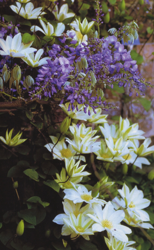 wisteria-sinensis-clematis-wadas-memory